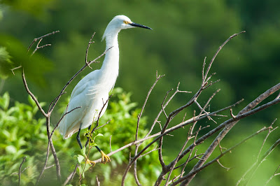 Snowy Egret, Fort Worth Nature Center
