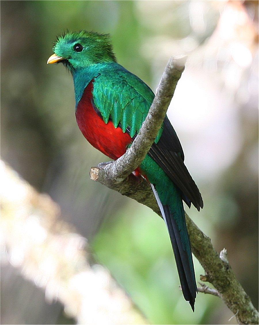 The Quetzal Bird | Beauty Of Bird