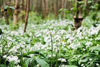 You'll find Wild Garlic growing in shady forest glades away from traffic