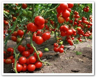 Уход за высокорослыми помидорами
