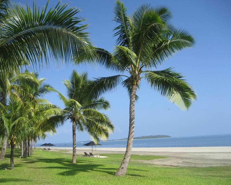 Dove cresce la palma da cocco cocos nucifera il for Pianta palma