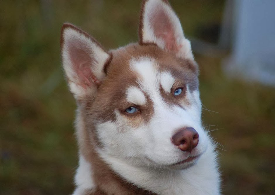 different breeds of dogs: siberian husky | red siberian husky puppies ...