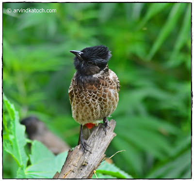 Red-vented Bulbul, pose