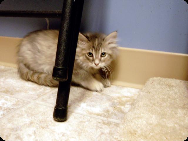 cat kitten kitty fluffy cute grey