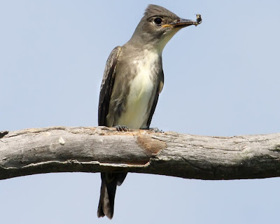 Olive-sided Flycatcher with Bee