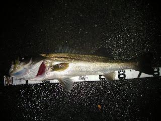 シーバス 湾奥 ナイトレイド80F