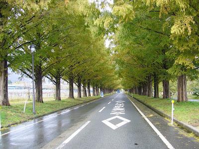 マキノ高原メタセコイア並木