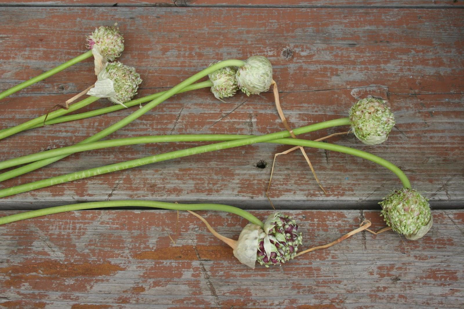 Посадка чеснока бульбочками осенью - выращивание озимого чеснока из 12