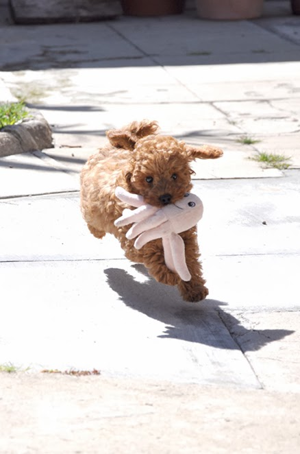 red poodle puppy play fetch with his octopus stuffed animal