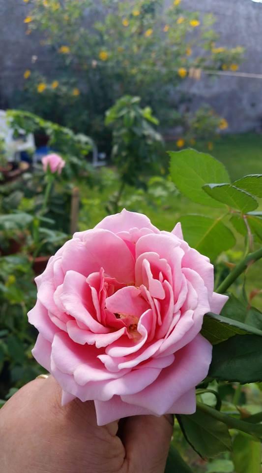 As Rosas do Meu Jardim