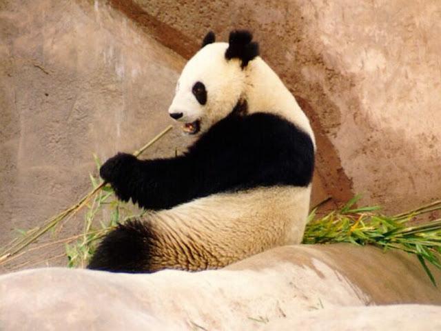 Panda Wallpapers Backgrounds Desktop 1024x768