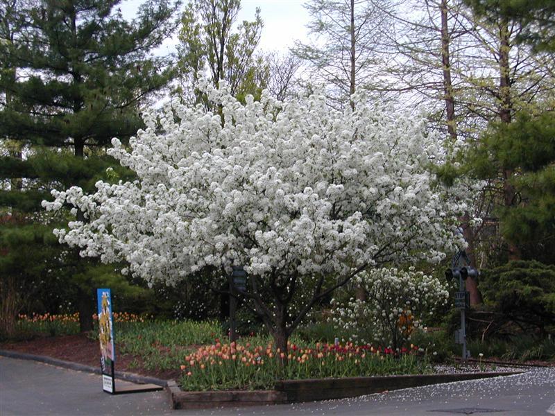 Arte y jardiner a rboles ornamentales for Arboles decorativos para jardin