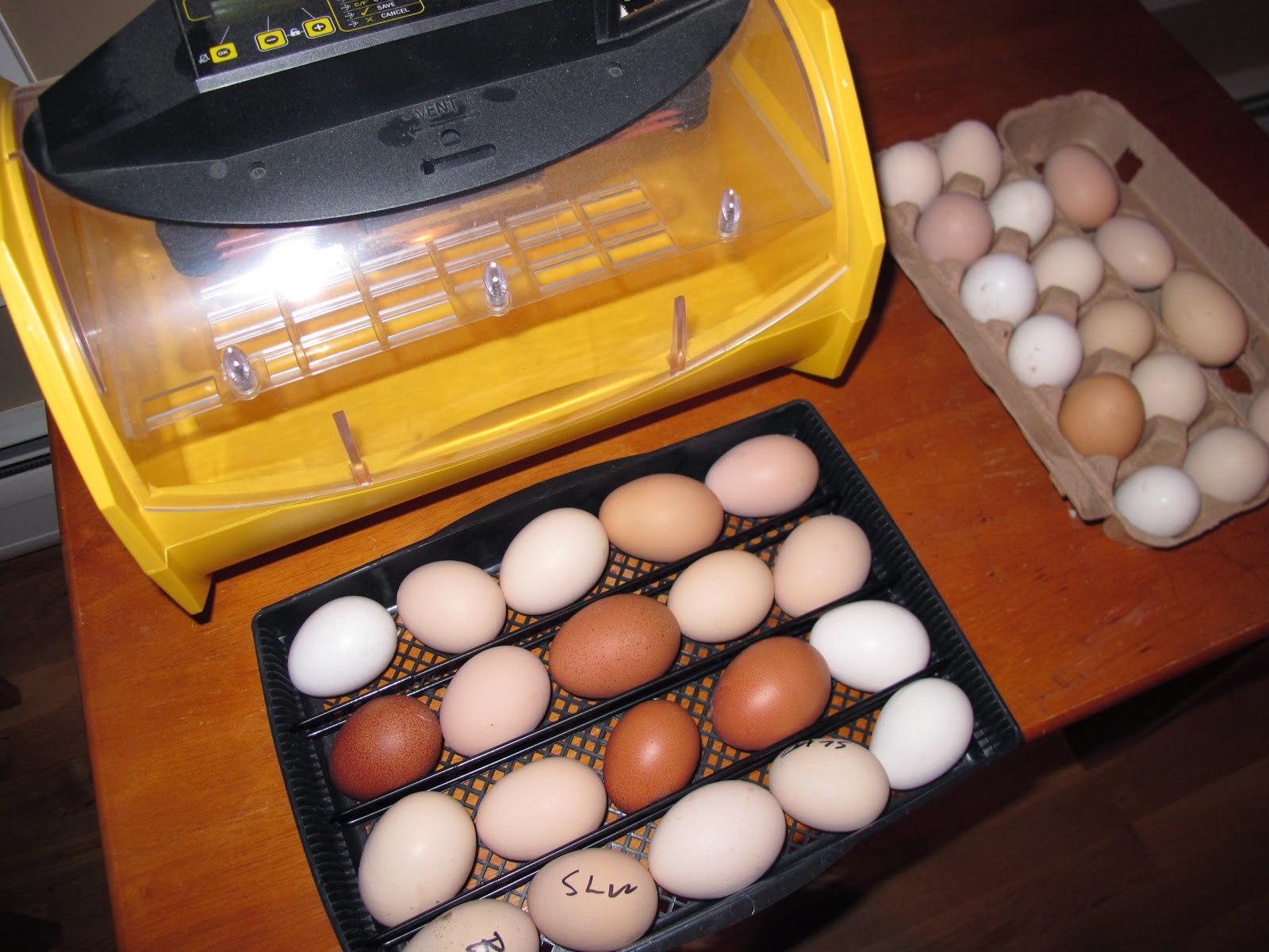 These hatching eggs were gifts from P. Allen Smith from his heritage breed pens.