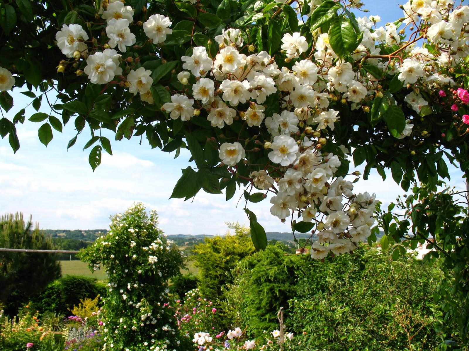 Roses du jardin ch neland rosier ch teau du rivau - Taille rosier liane ...