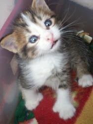 Six Toes:  A kitten