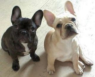 dois bulldog frances olhando