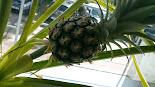 Ananas selbst angebaut