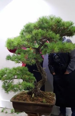 Clase de bonsai en bonsai center sopelana