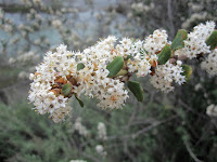 Hoary-leaved ceanothus (Ceanothus crassifolius) along East Fork San Gabriel River, Angeles National Forest