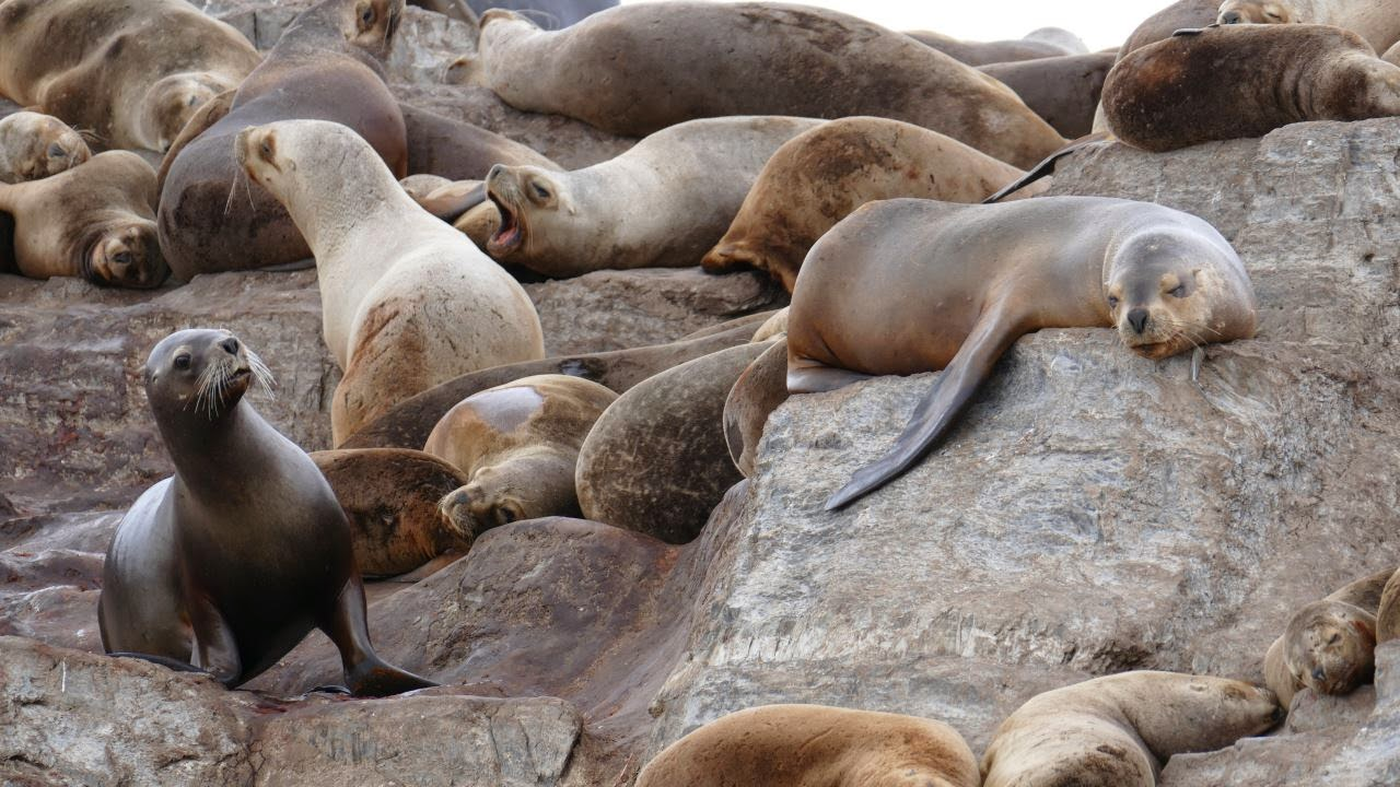 Ushuaia - der Beagle Kanal Seelöwen