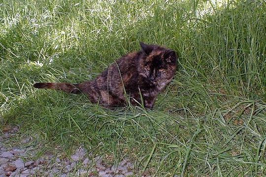Cat from Llanafan Fawr, Wales