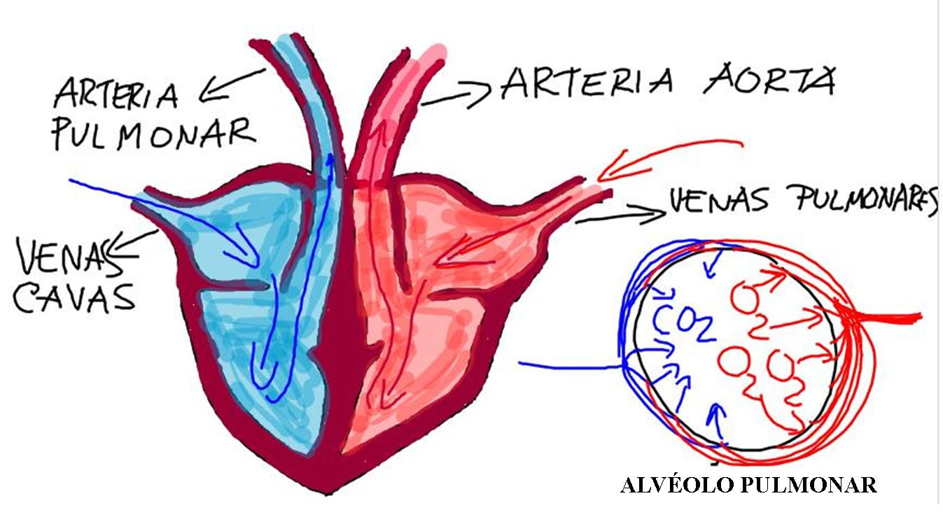 Famoso Diagrama De Corazón Interno Friso - Anatomía de Las ...