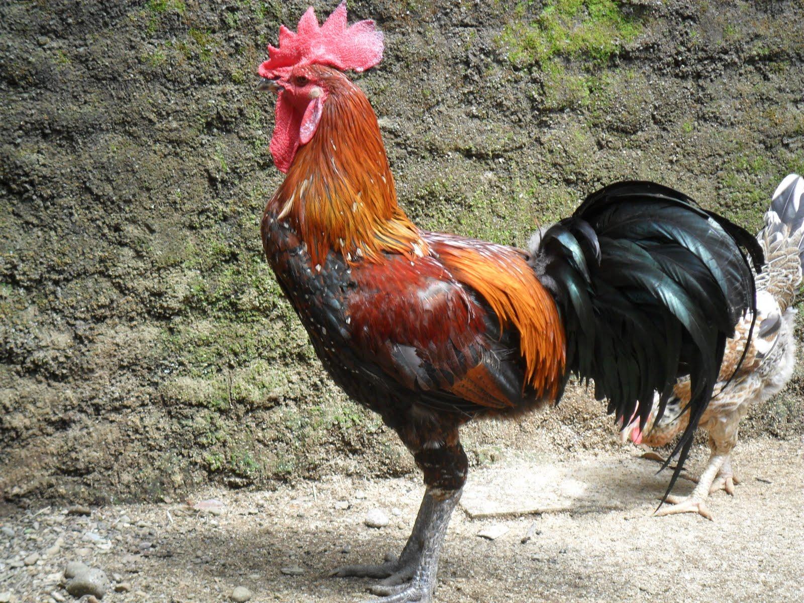 28 images of Sketsa Gambar Ayam Dan Bebek