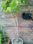 کڑہی پتا کا درخت
