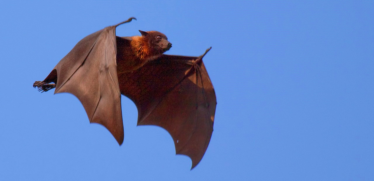 Flying foxes of PNG