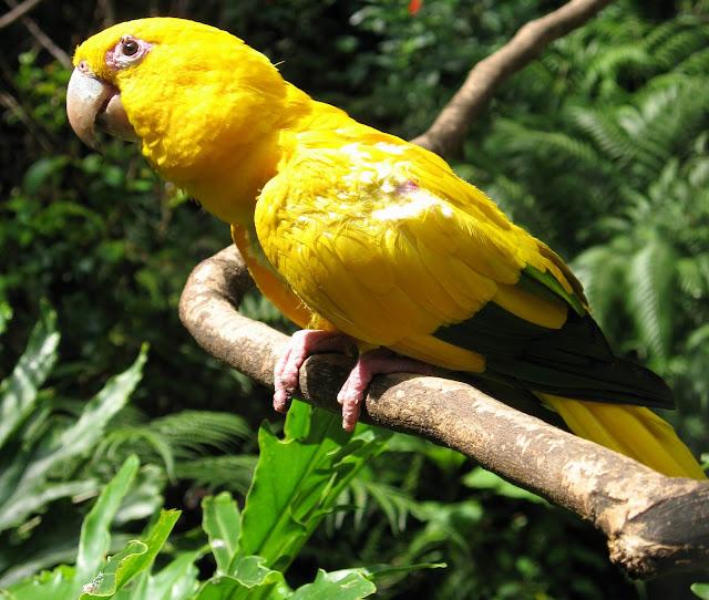 Golden Conure Parrot, http://dmjapan.blogspot.com/