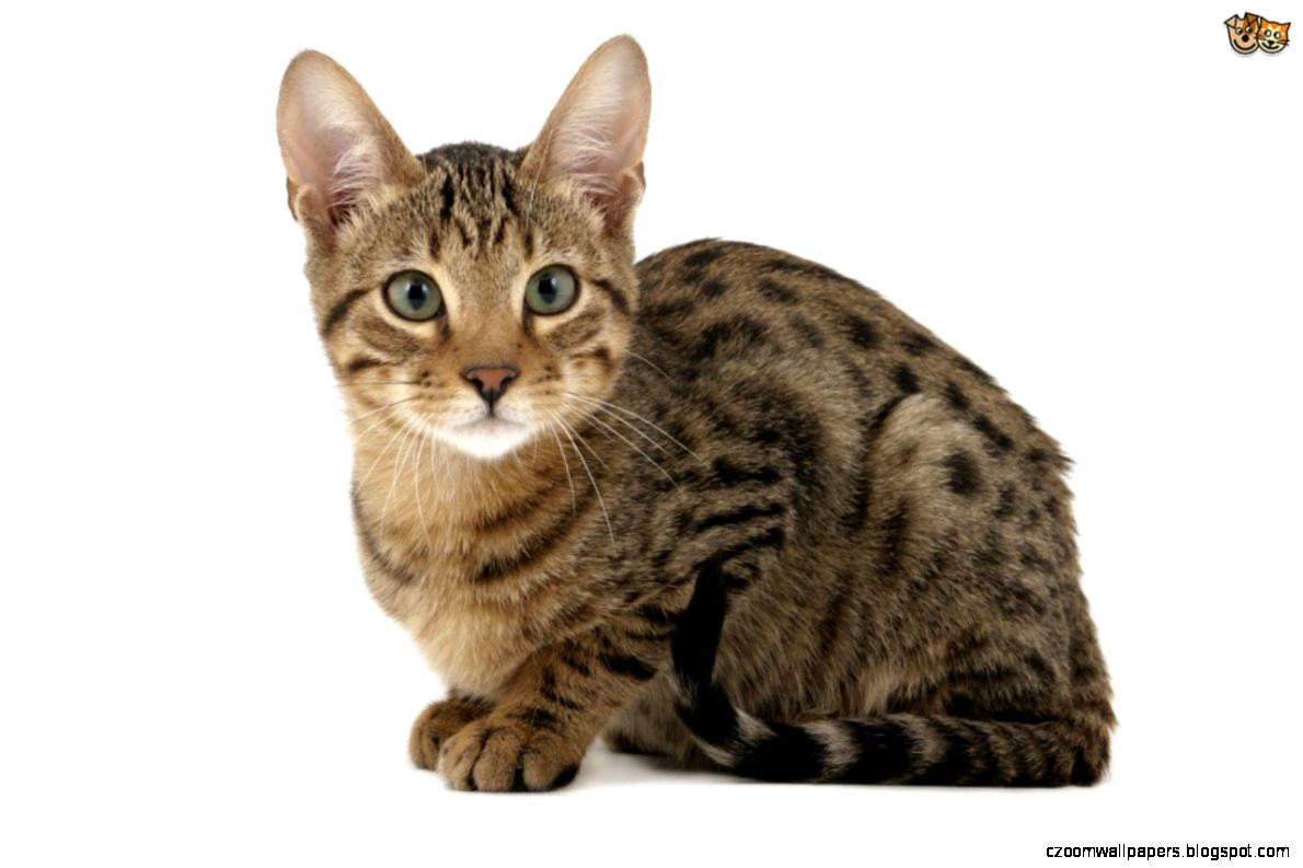 More information on the attractive and unusual Serengeti cat