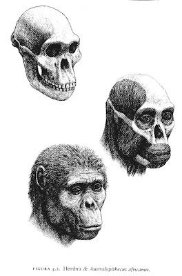 craneo y reconstruccion de Australopithecus africanus