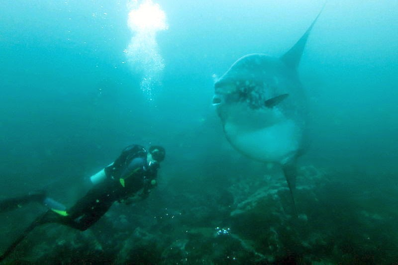 Mola mola and diver