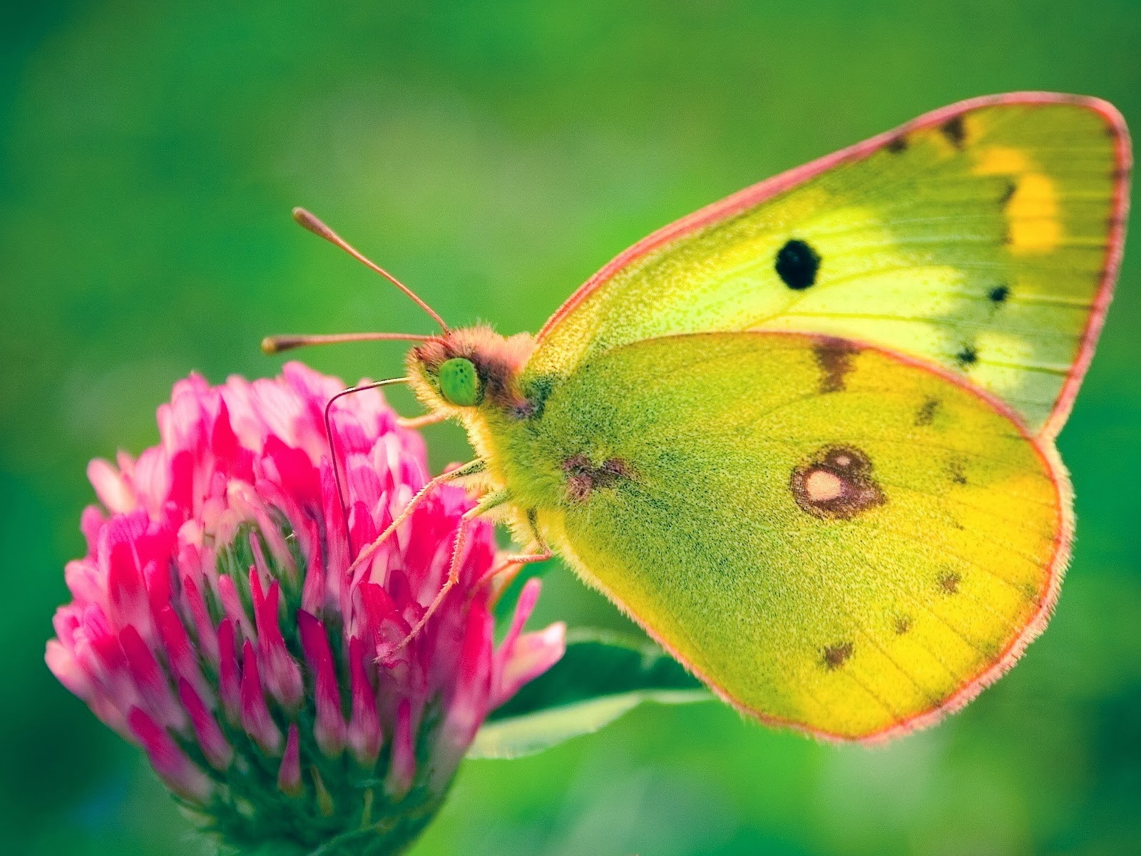 yellow butterfly wallpaper free - photo #11