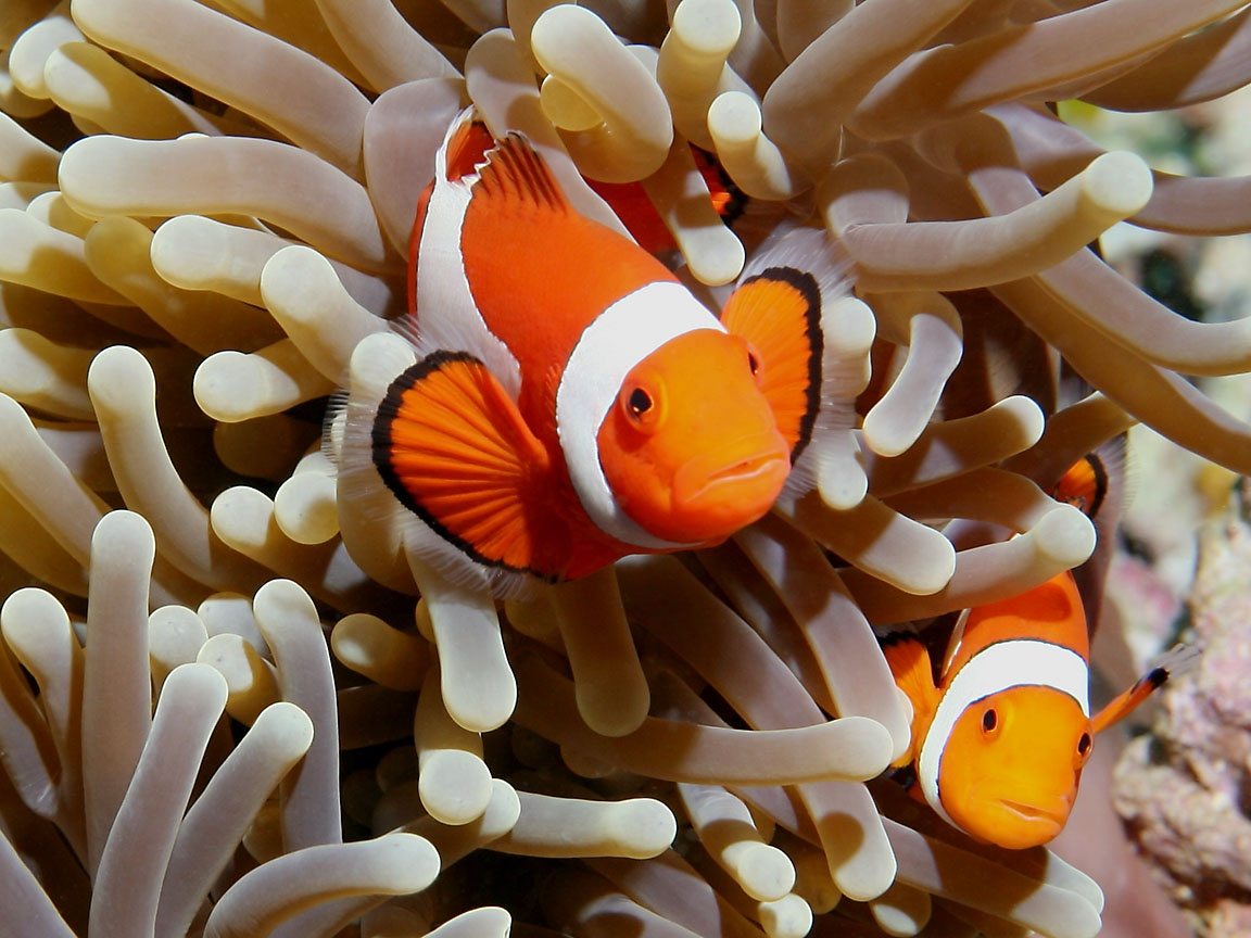 Do your homework better and faster for Clown fish habitat