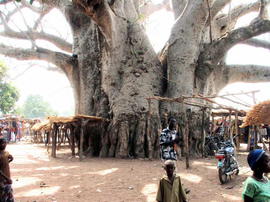 how to get water from a baobab tree