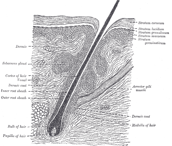 Root Hairs Microscope The Hair Root is Lodged in The