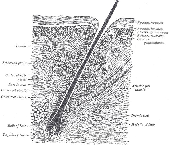 Hair Bulb Under Microscope Microscope World Blog:...