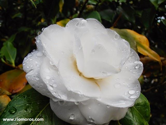 CAMELIA: Camellia japonica