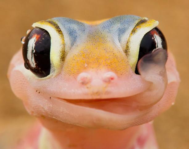 Why do geckos lick their eyeballs