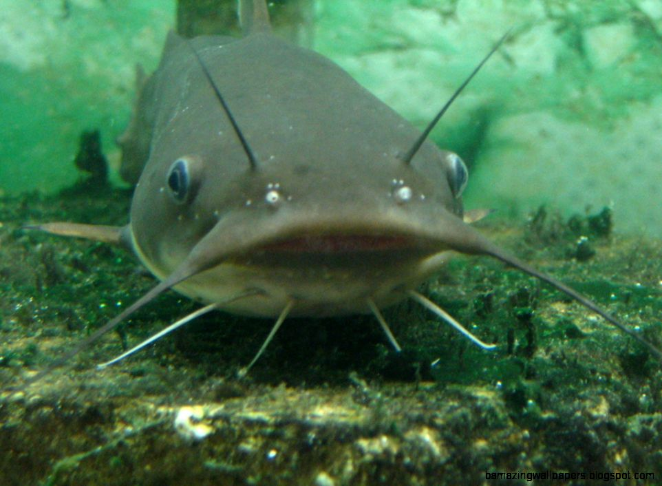 Channel catfish wallpaper amazing wallpapers for How to fish for catfish in a lake