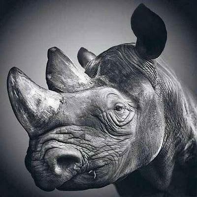 Rinoceronte com a maior cara de tédio