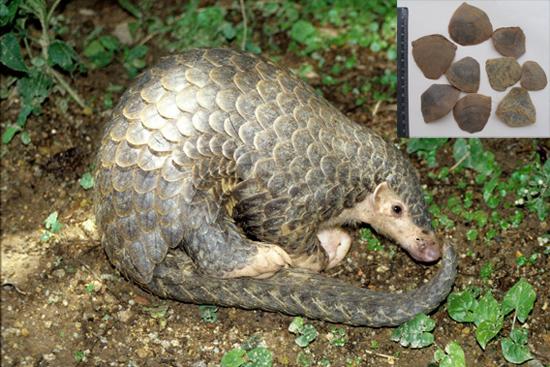Manis pentadactyla L. (Fam. Manidae)