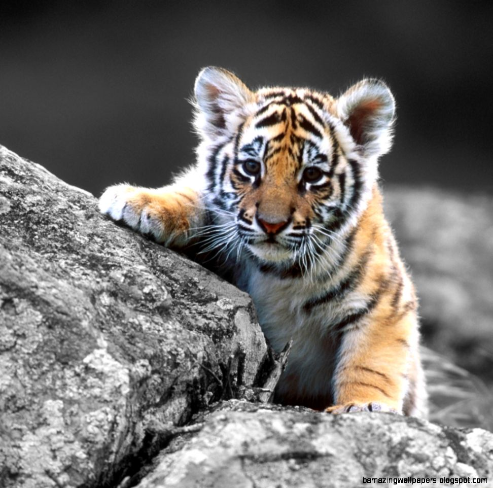Cute Baby Tigers Wallpapers  Amazing Wallpapers