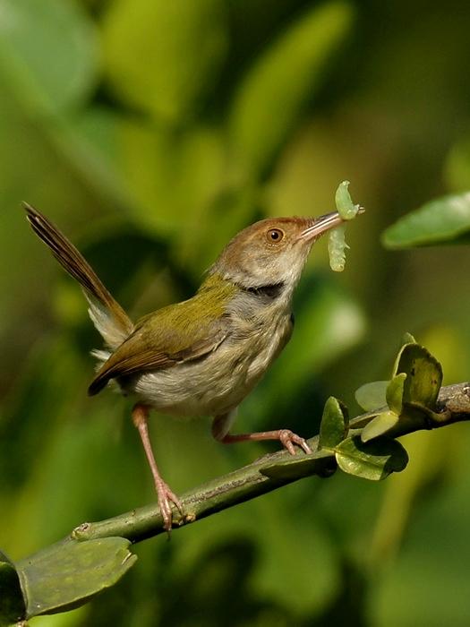Burung Perenjak Dan Ciblek (Prinia Familiaris) - Trend burung