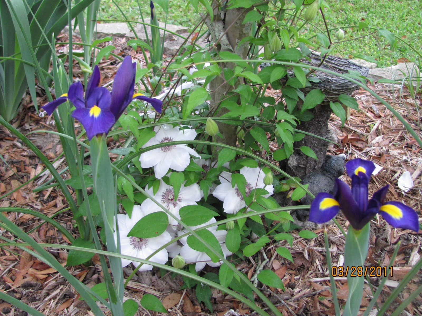 More family and flowers iris and clematis can you smell the rootbeer scent izmirmasajfo