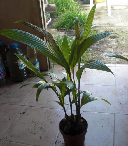 Palmeras de interior plantas flores y jardin for Palmeras de interior
