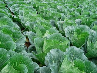 usaha kebun sayur di rumah
