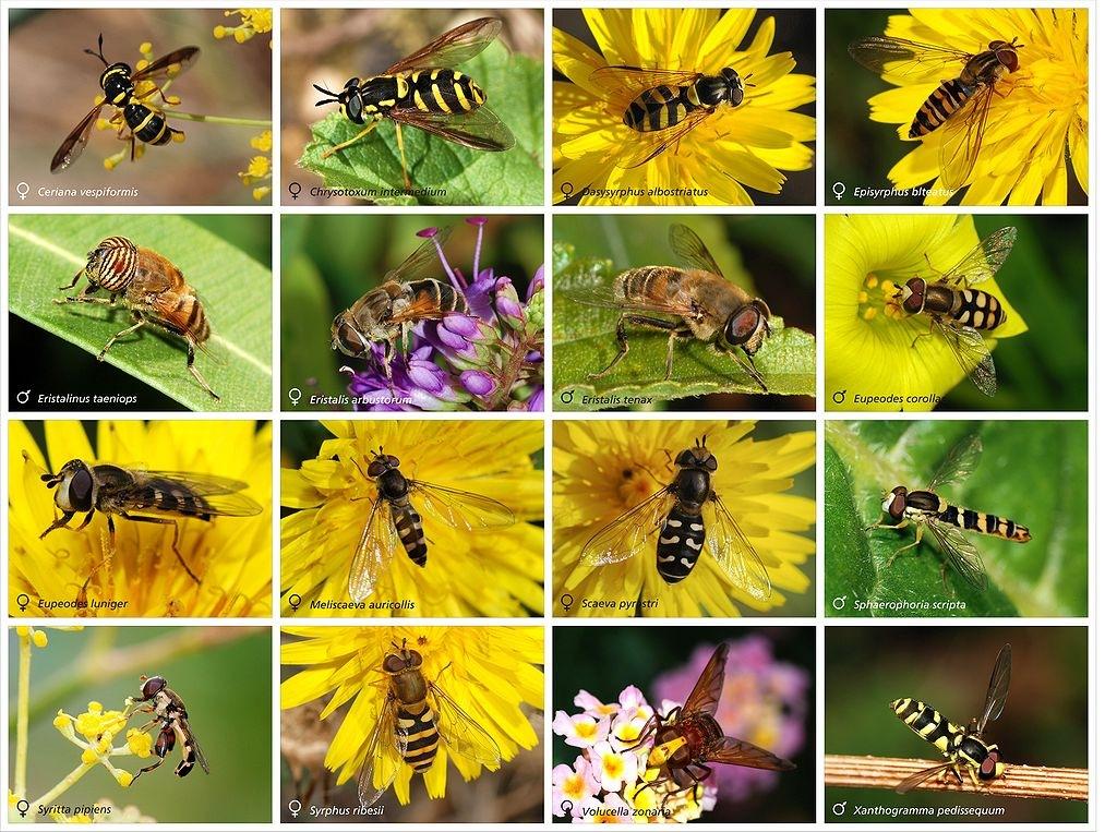 Fauna Auxiliar: Sírfids