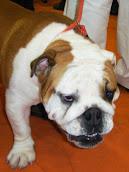 Mamíferos: cão com uma cara feia (Mausão)